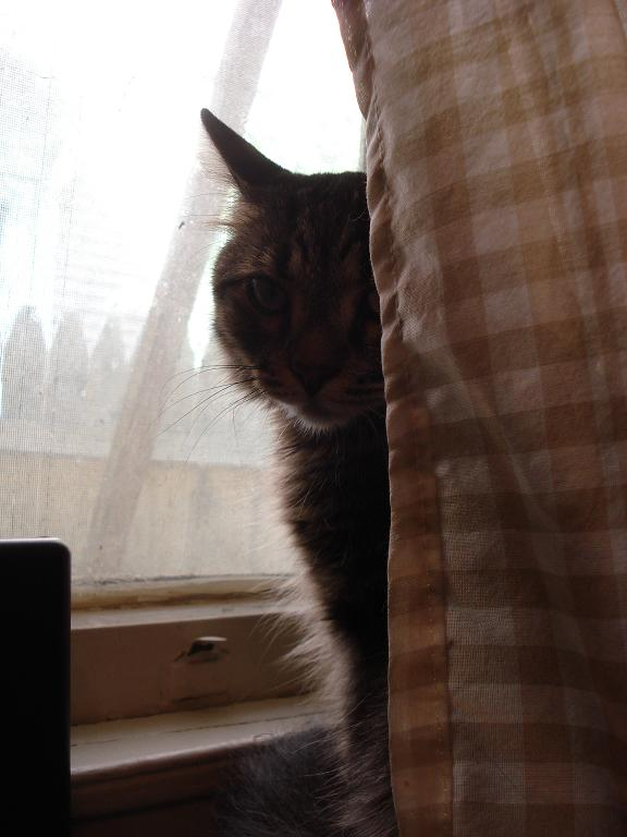 Cat in curtain
